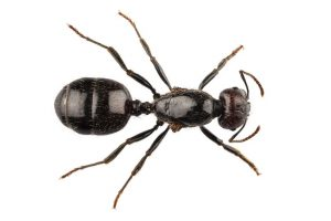 Photograph of pest black ant specied that infest homes in Tyne and Wear