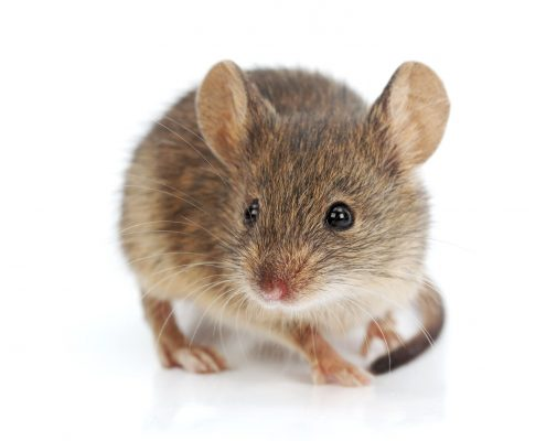 Adult house mouse