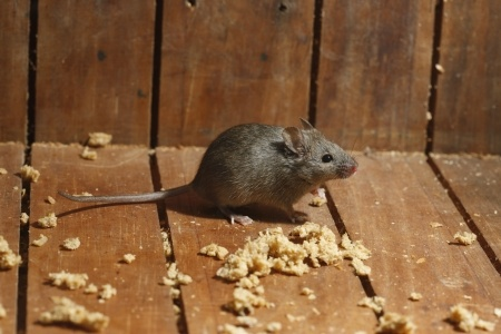 Photograph of a house mouse taken by a pest controller in Newcastle