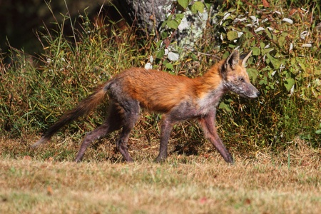 Fox Control required to catch Fox with mange in field