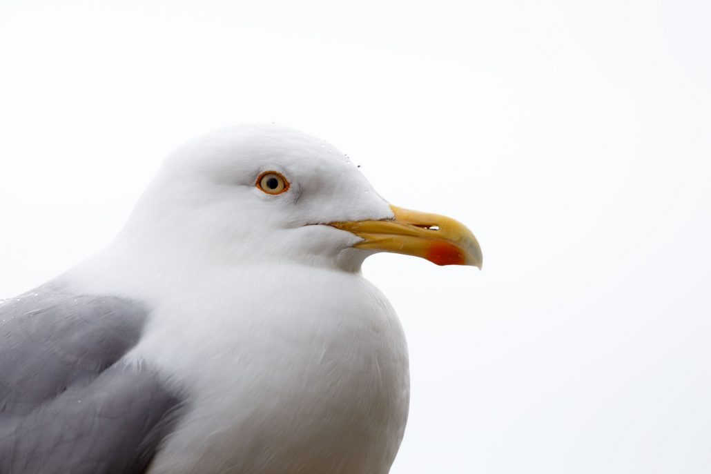 A large adult Herring Gull
