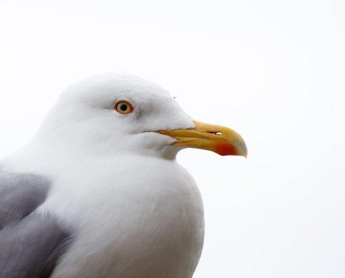 A large adult Herring Gull