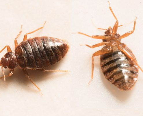 Close up view of two bed bugs