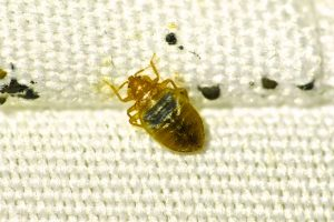 Close up of bed bug and black faecal marks