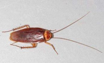 The American Cockroach