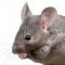 Mouse infestation lands Alexander pub with £13k fine