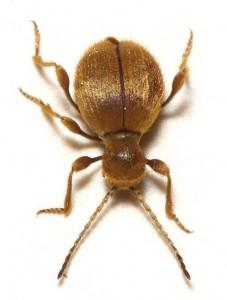 Golden Spider Beetle Adult