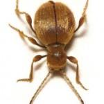 The Golden Spider Beetle