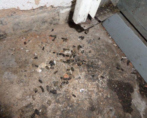 Momo-Station rat infestation, rat droppings