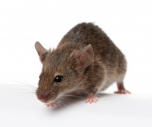 Mouse control, pest control on Newcastle