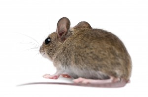 photograph of mouse showing the need for pest control