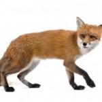 Urban fox looking at the camera