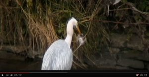 Video - A heron and a rat catcher. Natural pest Control at its best