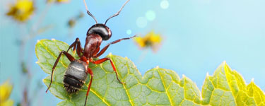 Pest Controls worst enemy the Garden ant on a leaf