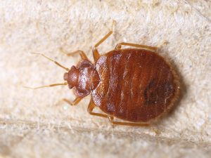 Bed bug photograph for pest control firm in Newcastle's webisite