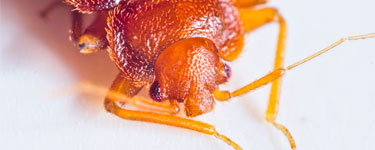 Closeup of head and antennae of a bedbug.