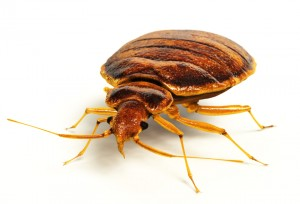 Illustration of a Bedbug or Bed Bug taken from the side