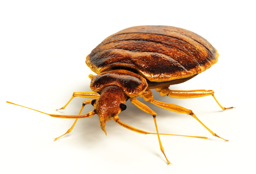 Illustration of a Bedbug or Bed Bug taken from the side