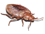 A Bedbug - Bedbugs are on the increase throughout the north east