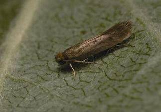 Case Bearing Moth -