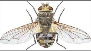 A Cluster Fly