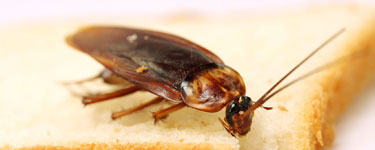 Cockroach eating its supper of white bread in a kitchen in Sunderland