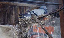 Feral Pigeon sitting on a nest