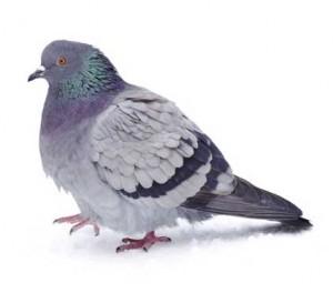 feral_pigeon