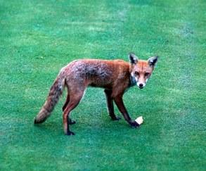 Fox Attack London