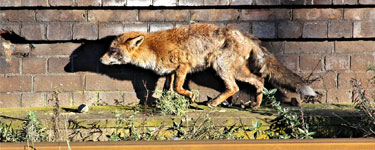 Urban fox looking worse for wear. Showing that fos control is necessary in city centres
