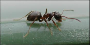 Black and or Garden Ant