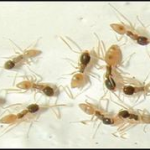 Ghost Ants