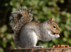 Grey Squirrel control in Newcastle, Sunderland and Durham
