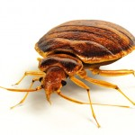 Bed bug control Newcastle