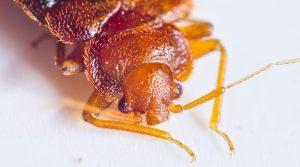 Close up of bedbug for bedbug control