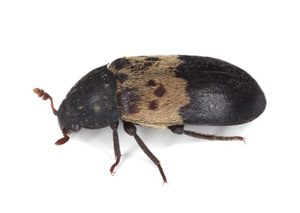 Larder beetle photographed after pest control treatment in Newcastle