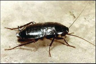 The Oriental Cockroach