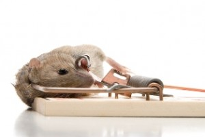 A rodent, mouse or rat caught in a breakback trap.