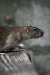 Pest Control, for professional rat removal