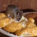 Pest Mice, Pest Control