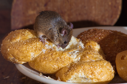 House Mouse on a loaf of bread in a bakery in Sunderland
