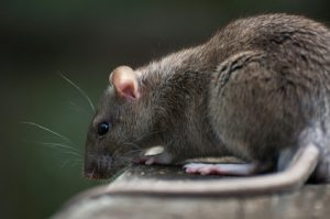 Brown rat, rattus norwegicus, shown feeding on a bird table in Newcastle before a pest control treatment starts