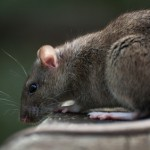 Brown Rat -Pest Control Newcastle Pest Pro