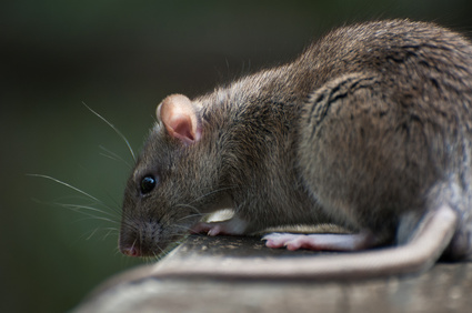 A rat on a picnic table in Newcastle.