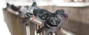 Feral pigeons lined up on a fence adjacent to a ledge in Sunderland town centre