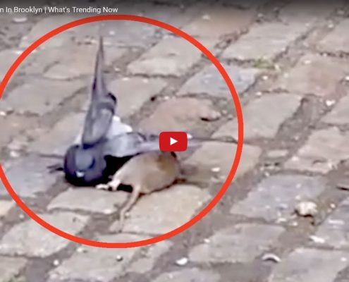 Viseo showing rat attacking a pigeon in Brooklyn