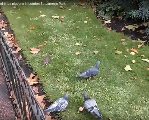 Rat chasing a pigeon in St James' park