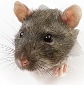 Rattus norvegicus-Brown Rat coming through paper