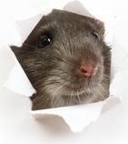 A brown rat peeping