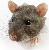 A brown rat, pest control can help restaurant owners with scores on the doors